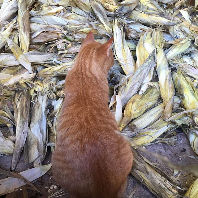 Oh my! can't believe that we have 6,000 ears of to be #husked! Plz needed this Saturday & Sunday, 10-4. Email whitecornproject@gmail.com with your availability. We will provide a healthy hot lunch. Meet at the barn behind the farmhouse at 7191 County Rd 41 in
