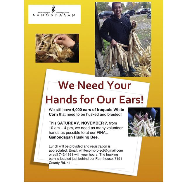 We need your hands for our 4000 ears! This Saturday, November 7, we are holding a final for our last 4000 ears of #iroquoiswhitecorn. Please consider giving us a couple of hours (or more) of your time from 10 AM to 4 PM. Lunch will be provided and registration is appreciated. Email: whitecornproject@gmail.com or call 585-742-1361. The husking barn is located just behind our farmhouse, 7191 County Rd. 41.